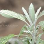 Salbei – Duftpflanze des Jahres