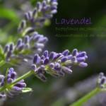 Lavendel – Duftpflanze des Jahres 2016